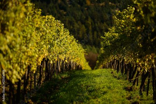 Spoed Foto op Canvas Wijngaard vineyard