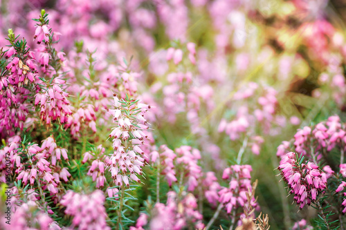 Beautiful field of vibrant pink heather calluna vulgaris beautiful field of vibrant pink heather calluna vulgaris blossoming outdoors in spring sun mightylinksfo