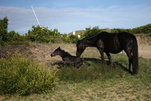 Wild Horses Of Corolla In The ...
