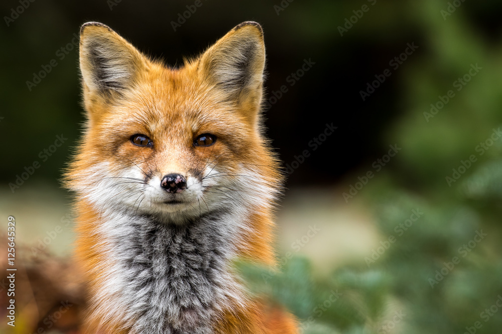 Fototapety, obrazy: Red Fox - Vulpes vulpes, close-up portrait with bokeh of pine trees in the background. Making eye contact.