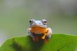 Tree frog sitting on a leaf, Indonesia