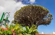 Famous Dragon Tree Drago Milenario in Icod de los Vinos, Tenerife, Canary Islands, Spain. UNESCO World Heritage Site
