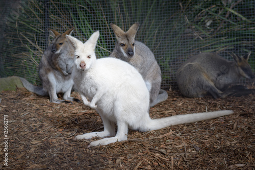 Fotografie, Obraz  Young curious white wallaby kangaroo