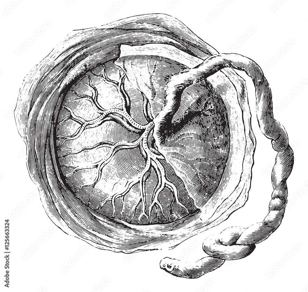 Fotografie, Obraz  Placenta (internal or fetal face), vintage engraving.