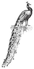 Peacock, Vintage Engraving.