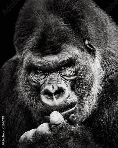 Fototapeta  Western Lowland Gorilla X