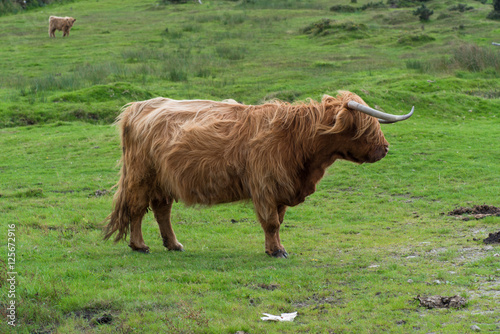 Recess Fitting Buffalo Scottish highland cattle near the Colliford Lake in the Bodmin Moor in Cornwall