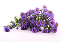 Blue Flowers Asters Belgian On White Background