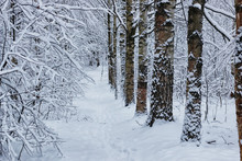 Winter Forest Covered Snow