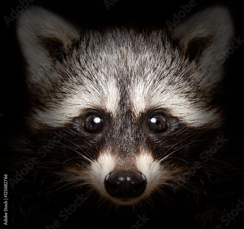 Fototapeta Portrait of a cunning raccoon closeup on a black background