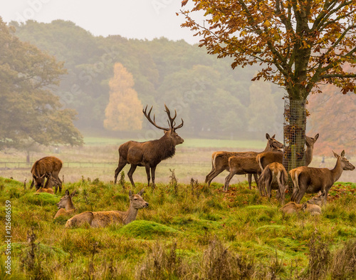Deurstickers Hert Red deer stag withg large antlers during the rutting season at Tatton Park, Knutsford, Cheshire, UK