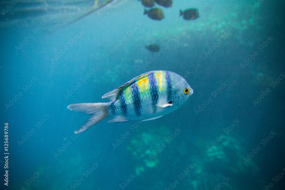 Photo & Art Print Indo-Pazifischer Feldwebel Fisch Ägypten ...