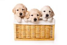Three Labrador Puppy In A Bask...