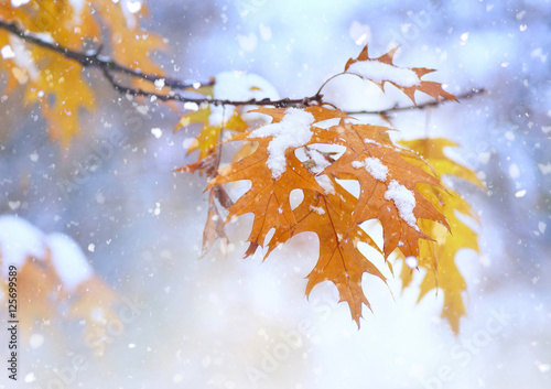 Beautiful branch with orange and yellow leaves in late fall or early winter under the snow. First snow, snow flakes fall, gentle blurred romantic light blue background, close-up.