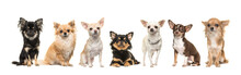 Group Of Seven Cute Chihuahua Dogs Facing The Camera Isolated On A White Background