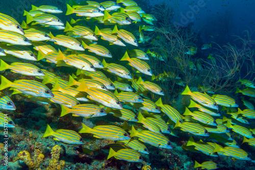 School of Yellow Fishes, Maldives