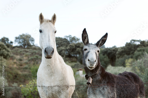 Beautiful white horse with a gray donkey with big earseld