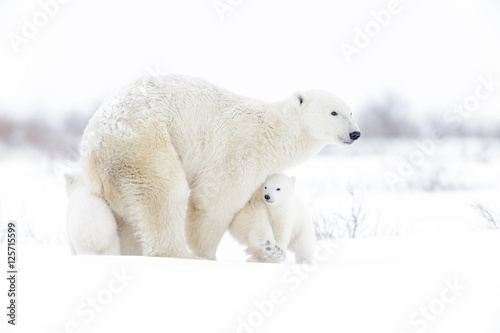 Photo Stands Polar bear Polar bear mother (Ursus maritimus) with two cubs walking on tundra, Wapusk National Park, Manitoba, Canada