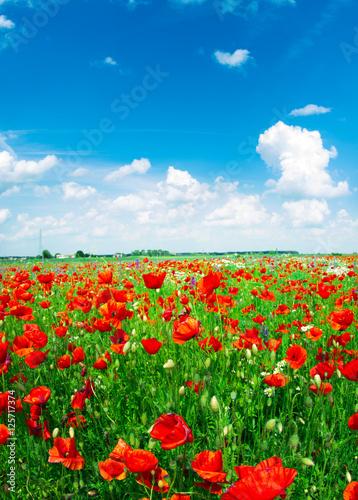 Plakat Pole jaskrawi czerwoni kukurydzani makowi kwiaty w lecie