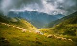 Sheep grazing in Carpathian mountains