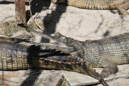 Foto op Plexiglas Krokodil Gharial (Gavialis gangeticus).