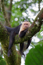 Capuchin Monkey Relaxing On A Branch In Costa Rica
