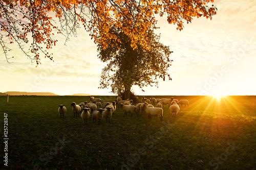 Schafe im Abendrot Wallpaper Mural