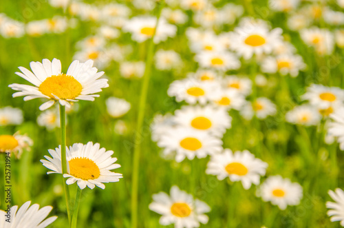 Recess Fitting Panorama Photos daisy flowers on a summer morning