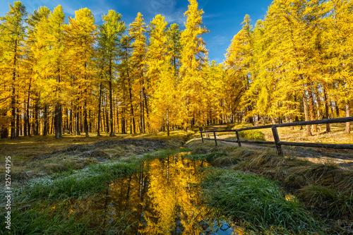 Papiers peints Orange Forêt de mélèzes en automne