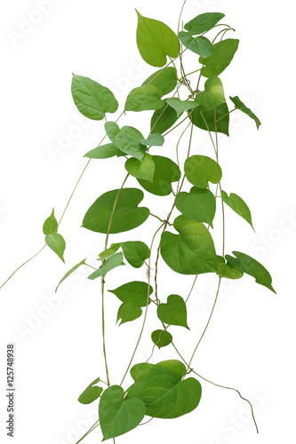 Heart shaped green leaves climbing vines isolated on white backg heart shaped green leaves climbing vines isolated on white backg mightylinksfo