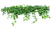 Heart shaped green leaves vine ivy plant bush of devil's ivy or golden pothos (Epipremnum aureum) isolated on white background with clipping path.