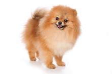 Puppy Spitz Dog (isolated On White)
