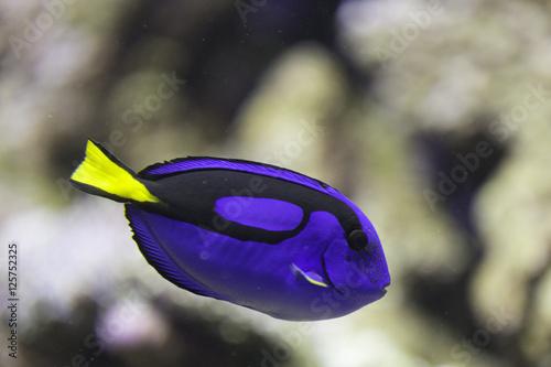фотография Dori oppure pesce chirurgo