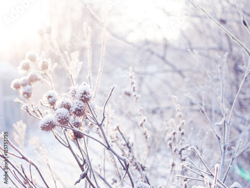 Fototapety, obrazy: winter background. spikelets covered with frost