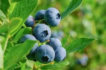 fototapeta świeże organiczne jagody na krzaku