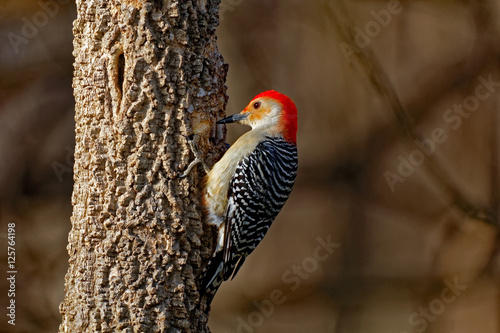 Photo  Red-Bellied Woodpecker on a Tree