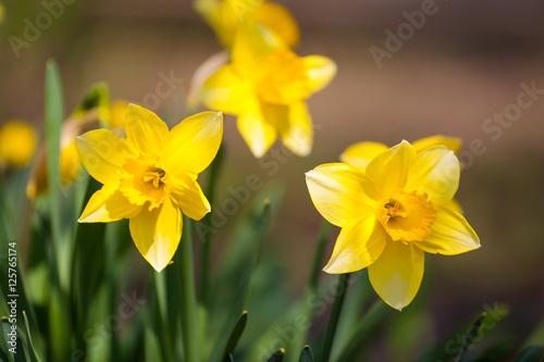 Yellow daffodil flower in the field Fototapeta
