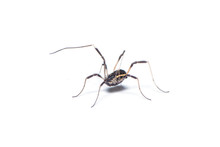 Opiliones Spider Isolated On T...