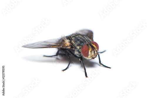 The housefly on the white background.