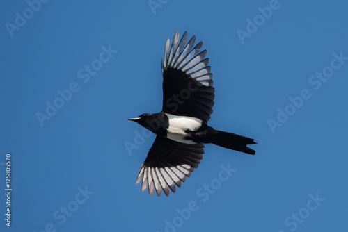 Carta da parati Eurasian Magpie, Common Magpie, Pica Pica