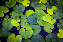 Green Water Plant Leaves On Water Surface