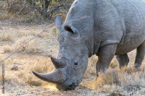 Garden Poster Rhino Rhinoceros in Greater Kruger National Park, South Africa