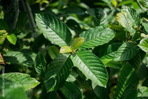 Fotografie, Obraz  Live Kratom Plants - Agricultural Photography