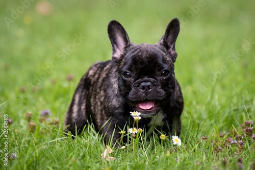 Lütti-Französische Bulldogge