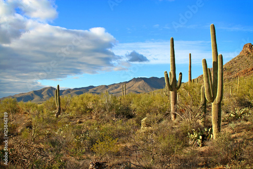 Papiers peints Cactus Saguaro cactus and desert landscape with clouds in late afternoon light