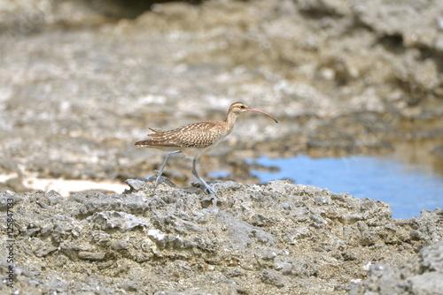 Fotografering  bristle-thighed curlew, curlew, bird, shore