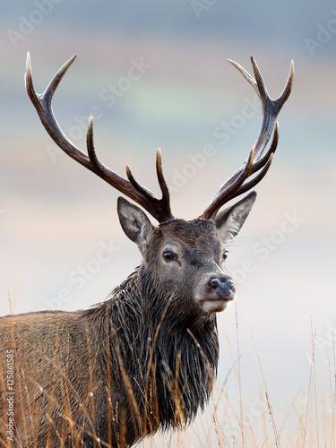Papiers peints Cerf Red Deer Stag