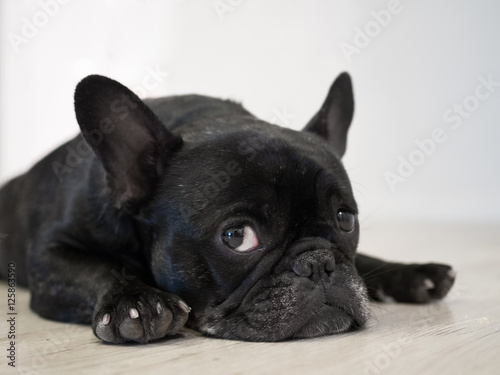 Staande foto Franse bulldog Bored Frenchie