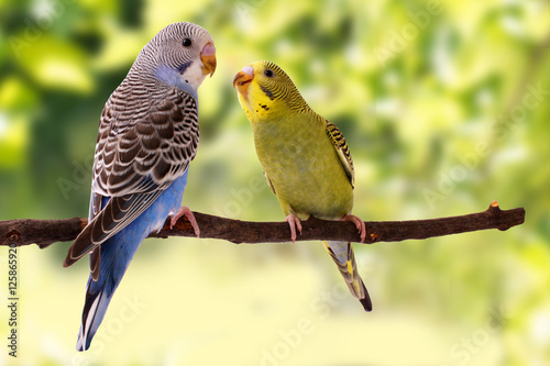 Canvas Print Two multi colored budgie are on the green background