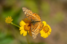 Variegated Fritillary Butterfly On Yellow Flowers